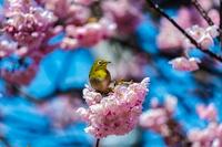 早春の彩~八重桜とメジロ1