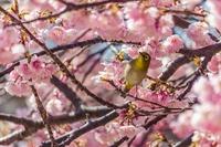 早春の彩~八重桜とメジロ2