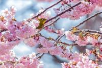 早春の彩~八重桜とメジロ3