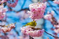 早春の彩~八重桜とメジロ4