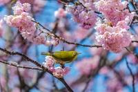 早春の彩~八重桜とメジロ5