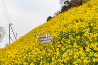 閏住の菜の花畑1