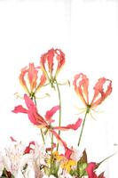 グロリオサの花