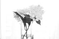 花瓶にさした純白の紫陽花