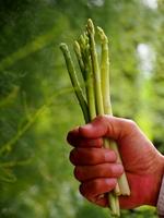アスパラガスの収穫