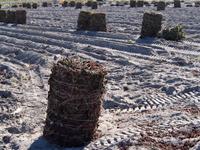 鳴門金時の収穫後、芋づるの干し草ロール