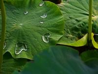 レンコン畑のハート型の水滴