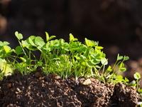 緑肥作物 クローバーで土作り