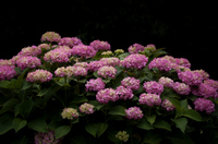 紫陽花 アジサイ