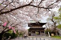 桜舞う称名寺