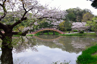 桜舞う太鼓橋