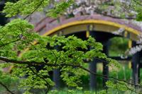 春のもみじと太鼓橋
