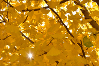 黄色の銀杏