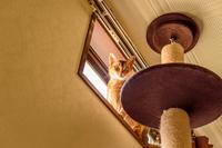 猫 ねこ アビシニアン