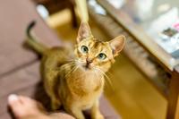 足元に寄って来るネコ 猫 アビシニアン