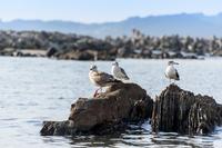 カモメ 海鳥 3羽
