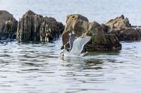 カモメ 海鳥 1羽