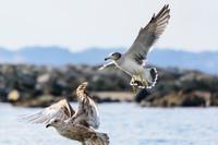 飛び立つ瞬間のカモメ 海鳥 3羽