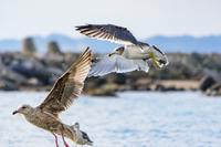 飛び立つ瞬間のカモメ 海鳥 2羽