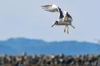 羽ばたくカモメ 海鳥 1羽
