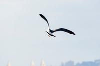 青空へ羽ばたくカモメ 海鳥 1羽
