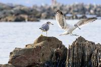岩場に降り立つカモメ 海鳥 2羽