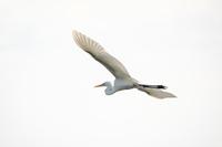 大空に羽ばたく白い海鳥 しらさぎ