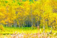 紅葉の森林 志賀高原