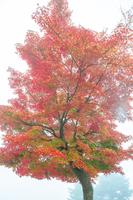 霧と紅葉のもみじ