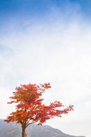 紅葉のもみじの木