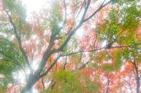 木漏れ日と紅葉のもみじ