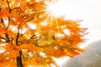 太陽の光芒と紅葉のもみじ