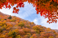 紅葉のもみじの木と山