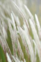 初夏 風にゆれるチガヤの穂