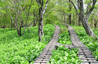 新緑の丹沢 大室山付近の木道