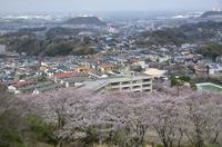 鷹取山から 満開の桜と住宅地