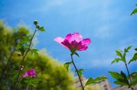 ムクゲの花 (八重咲き)