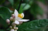 レモンの花 1