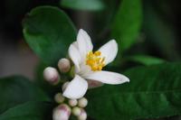 レモンの花 2
