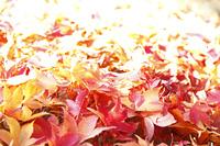 落葉の紅葉