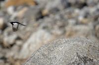 大きな岩から飛び立つセグロセキレイ