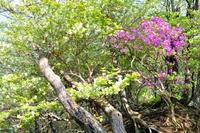 西丹沢檜洞丸つつじ新道の花