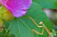 花とカマキリ