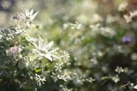 満開の白い花々