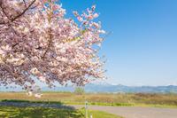 千曲川の桜堤