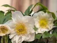 八重咲きの白いクリスマスロ-ズ