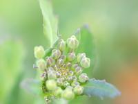 ノラボウナの花の蕾