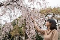 枝垂れ桜と若い美しい女性
