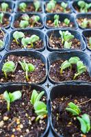【家庭菜園】豆の若葉