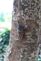 木に留まるアブラゼミ